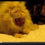 ライオン猫、雄叫び風に大あくび(動画)