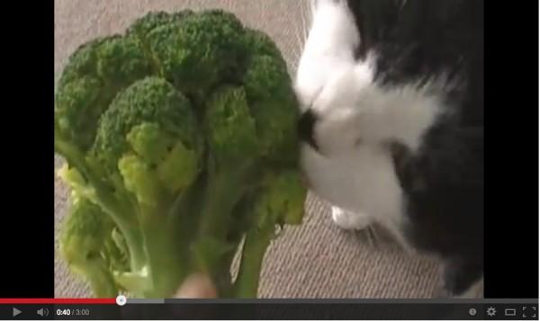 131227broccoli 600x357 - ブロッコリーが大好きな猫、あっという間に蕾を食べ尽くす(動画)