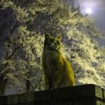 本日の美人猫vol.68