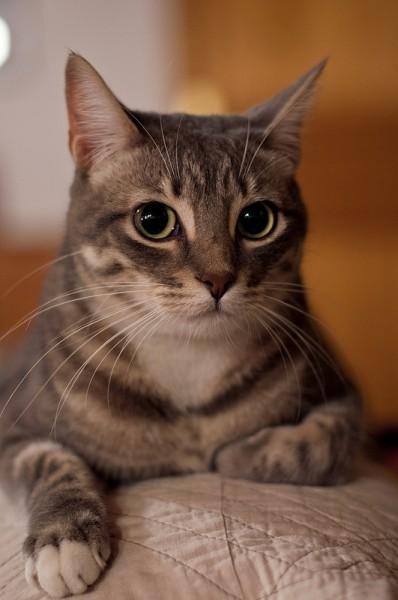 140318cat 398x600 - 本日の美人猫vol.69