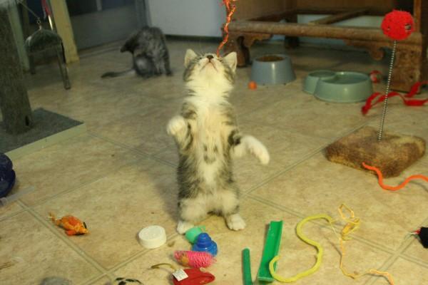 140404smilecat 600x400 - おもちゃに夢中な子猫、おなかにスマイルマークが現れる