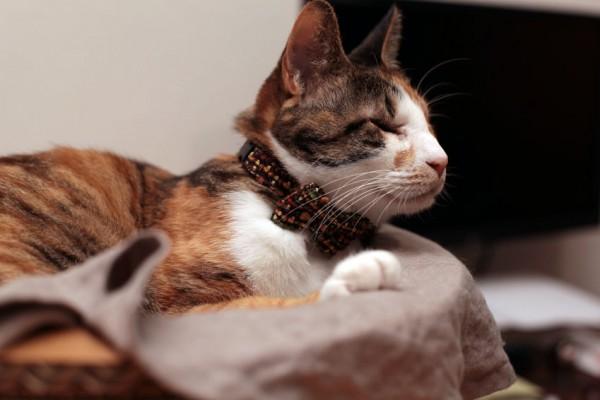140420catbowtieJUTI04 600x400 - LINTON社製ツイードの、猫専用蝶ネクタイ「cat bow tie JUTI」