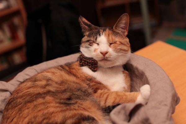 140420catbowtieJUTI05 600x400 - LINTON社製ツイードの、猫専用蝶ネクタイ「cat bow tie JUTI」