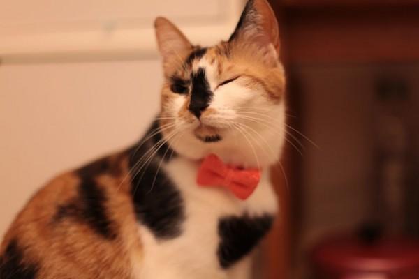 140420catbowtieJUTI06 600x400 - LINTON社製ツイードの、猫専用蝶ネクタイ「cat bow tie JUTI」
