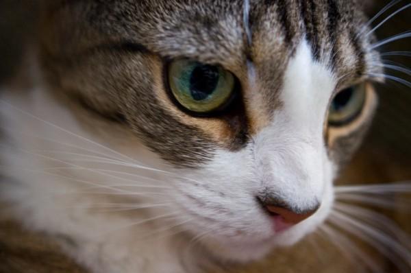 140503cat 600x398 - 本日の美人猫vol.77