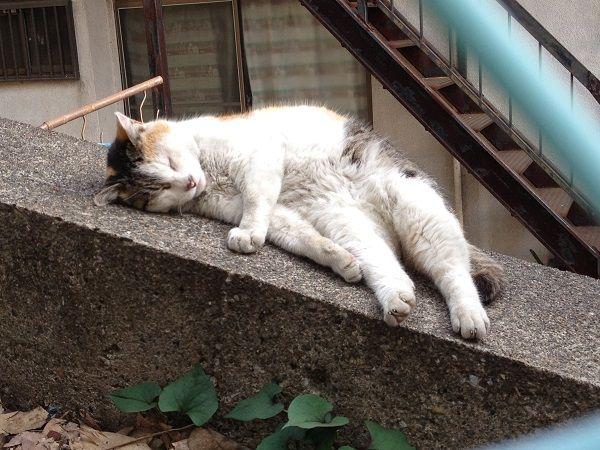 140523yanesencat01 - 谷根千の猫をひたすら撮り続けるブログ