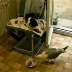 突然の不法侵入に固まる黒白猫、カモメにご飯を皿ごと奪われる