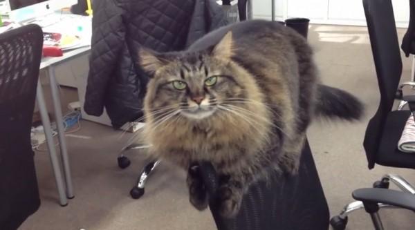 140712officecat 600x333 - オフィスチェアを陣取る猫、背もたれから社員に睨みをきかせる