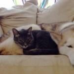 甘えん坊の黒トラ猫、眠るハスキー犬のお腹をベッドに眠る