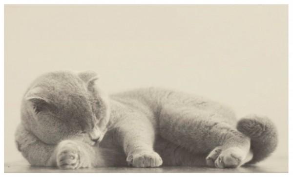 140803cat05 600x364 - 猫種の歴史を紐解く物語を綴る、『世界で一番美しい猫の図鑑』