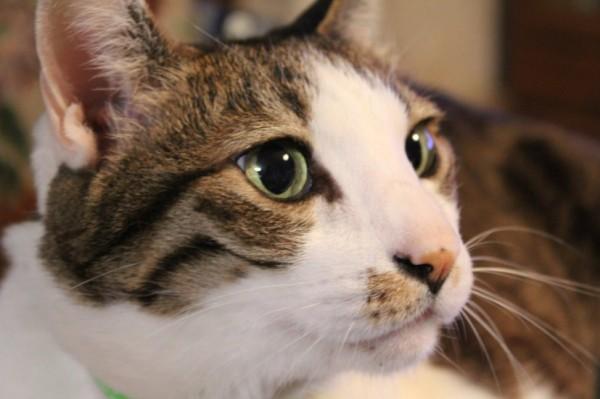 140830bijinneko 600x399 - 本日の美人猫vol.98