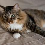 猫の肥満を見極める、5つのポイント