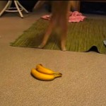 バナナを怖れるトラ猫、怖がりすぎて残像になる