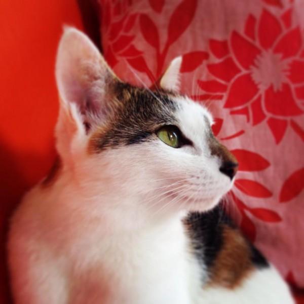 140911catLeia 600x600 - 本日の美人猫vol.101
