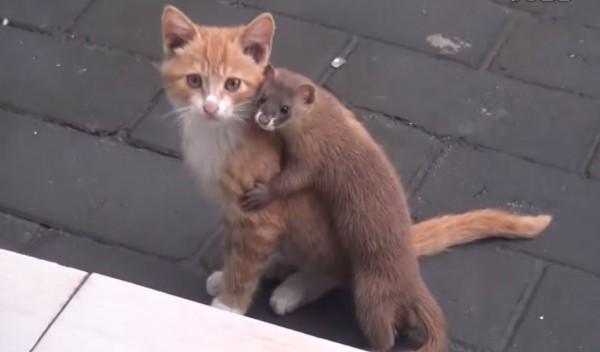 140921catwithWeasel 600x352 - 仲良く遊ぶイタチと子猫、抱き合いながらカメラ目線に