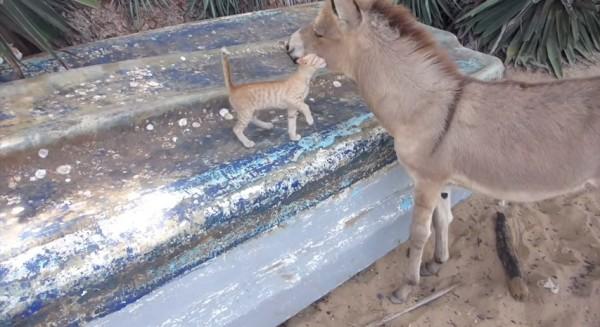 140923catwithdonkey 600x327 - ケニアの茶トラ子猫、ロバの頬に顔をめり込ませる