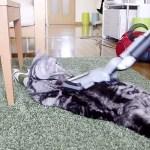 掃除機に吸われる猫、掃除中のカーペットに陣取って眠る
