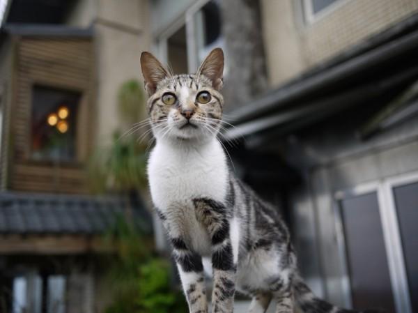 141028cat 600x449 - 本日の美人猫vol.108