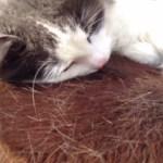 馬が大好きな猫、馬の背中を猫毛まみれにする