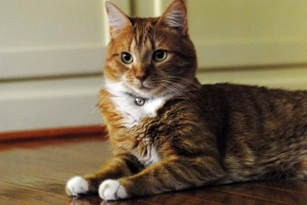 141106cat 600x401 - 本日の美人猫vol.110