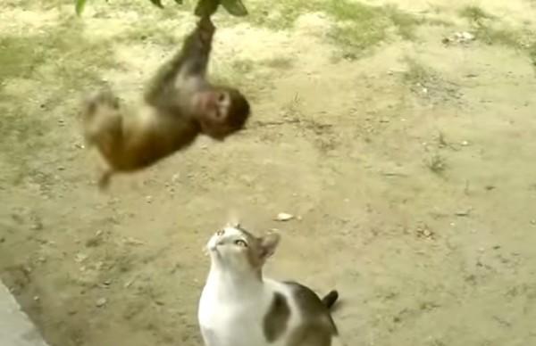141201TARZANvscat 600x388 - 大人の余裕を見せる猫、子猿のターザンと戯れる