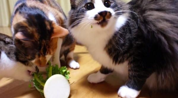 141213daikoncat 600x329 - 大根を食べる猫、群がりすぎてまるでピラニア状態に