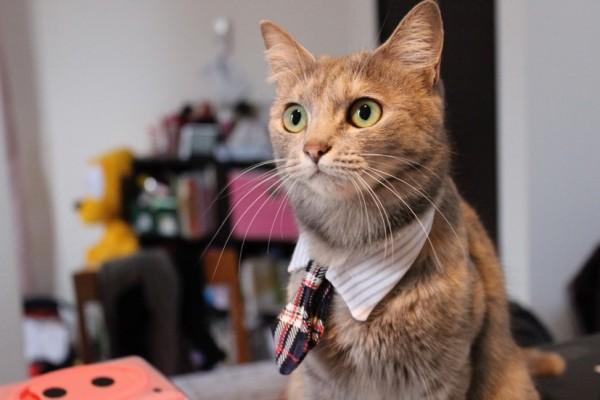 150109 necotie IMG 0507 600x400 - 猫用ネクタイを締めた猫、心なしか鼻高々