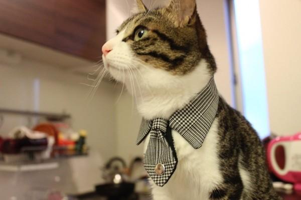 150109 necotie IMG 1782 600x400 - 猫用ネクタイを締めた猫、心なしか鼻高々