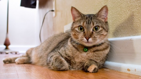 150123tabbycat 600x337 - 本日の美人猫vol.119