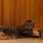 怠惰な姿勢で横たわる猫、無駄のない動きで器用に水を飲む
