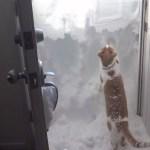 玄関先を埋める豪雪に直面した茶白猫、自ら雪を掻いて外へ脱出