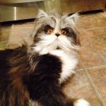 犬と見まごう多毛症の猫、その行動はやっぱり猫そのもの