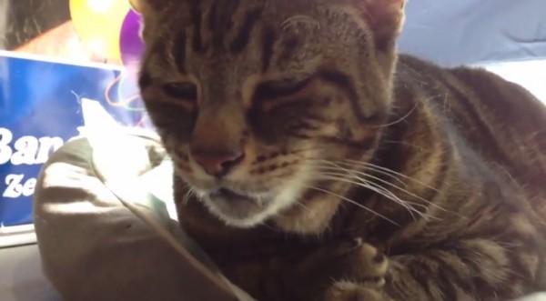 150412catSound 600x331 - 個性あふるる猫の声、14種類のコンピ動画