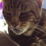 個性あふるる猫の声、14種類のコンピ動画