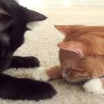 イエネコと大型ネコ科を比べた動画、結果は皆さま察しの通り