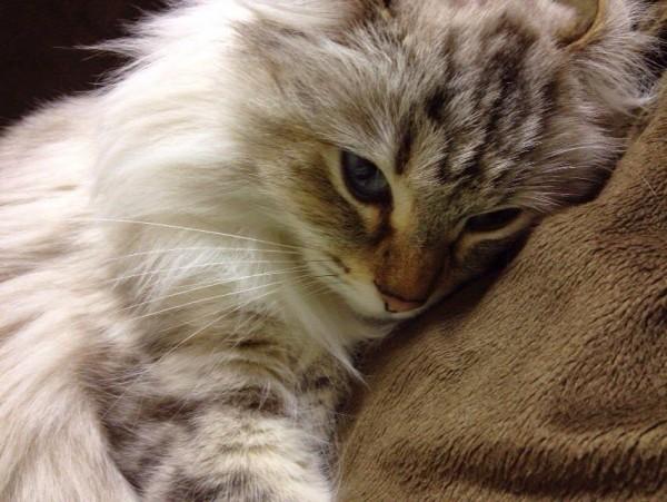 150623cat 600x451 - 本日の美人猫vol.141
