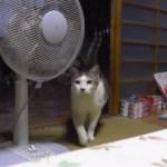 知らぬ間に横を向きたる扇風機、犯人まさかの猫シッポ