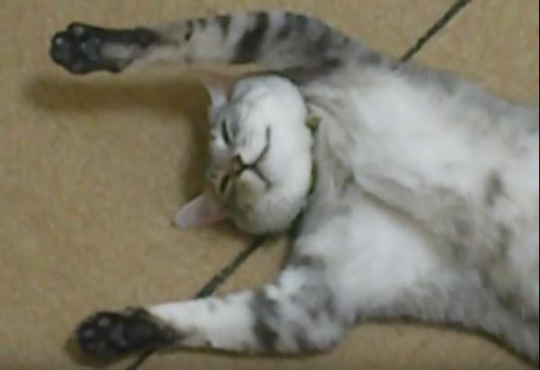 150810catface 600x411 - 扇風機大好きな猫仰向けに、伸びて見せるは不敵な笑顔