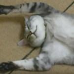 扇風機大好きな猫仰向けに、伸びて見せるは不敵な笑顔