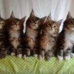 猫の子七匹シンクロす、オモチャを小さな顔で追い