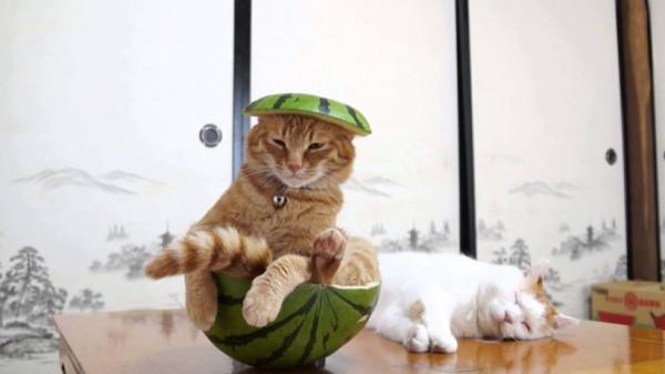 150827suikacat 600x337 - サザエさんのタマのアレ、リアルに猫がやるとこうなる