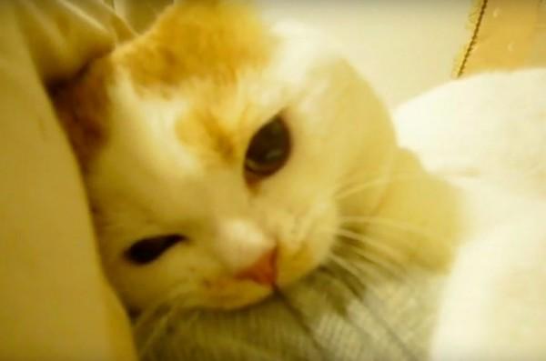 150908cat 600x397 - ガブガブ遊びの茶白猫、乳歯がポロリと抜け落ちる