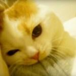 ガブガブ遊びの茶白猫、乳歯がポロリと抜け落ちる