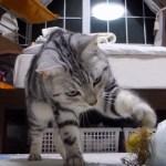 モロコシのヒゲを怖れるアメショ猫、及び腰にてパンチを見舞う
