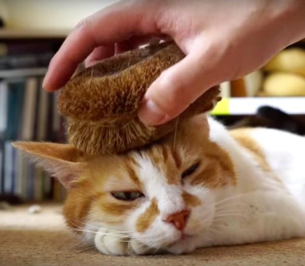 150918tawashicat 600x524 - 毛づくろいも一緒にできる、タワシで健康猫マッサージ