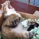 緩衝材に浸かる猫、温泉気分で大あくび