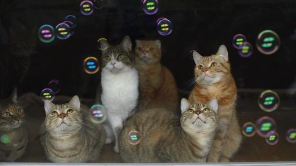 151008bubblecats 600x337 - 初めて目にするシャボンの球に、目を丸くして眺む猫たち
