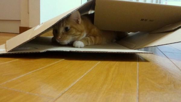 151022cathouse 600x337 - 指に誘われ猫パンチ、ダンボールハウスを自ら倒壊