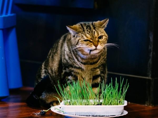 151112catgrass 600x450 - 異なる種類の猫草を、比べて調べてまとめたサイト