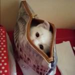 超高速のいないいないばぁ、つぶらな瞳で見つめる白猫